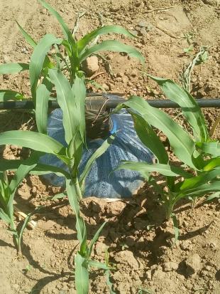 Dual Purpose Sorghum grown under SAP-supplemented vapour-fed irrigation in Lodwar, Turkana